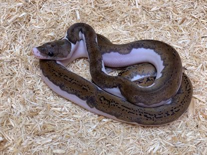 Picture of Male Pied Reticulated Python