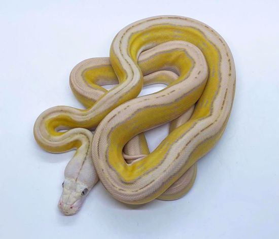 Picture of Purple Sunfire Tiger Motley Reticulated Python
